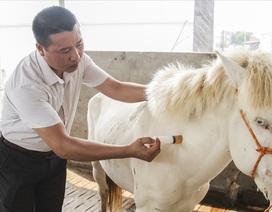 Nuôi ngựa bạch sắm nhà lầu, xe hơi ở Thái Nguyên
