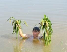 Mưa lớn gây ngập nặng, hàng trăm ha lúa mất trắng