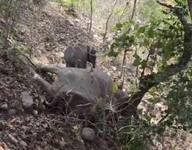 Cảm động hình ảnh voi con đau đớn không chịu rời xác mẹ