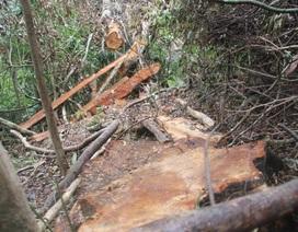 Ngang nhiên đốn hạ gỗ rừng