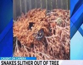 Rùng mình cảnh đàn rắn nhung nhúc bò ra khỏi cây