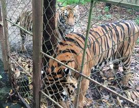 Xin ý kiến 2 Bộ giải quyết trại nuôi hàng chục con hổ ở Thanh Hóa