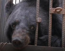 Giật mình khi chó ngao Tây Tạng đang nuôi tự nhiên biến thành gấu đen
