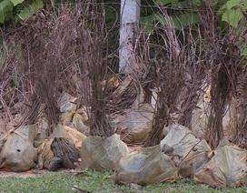 Hàng nghìn cây giống hỗ trợ trồng rừng bị vứt bỏ không thương tiếc