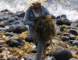Kiếm tiền triệu mỗi ngày nhờ cắt hái rong mơ biển ở Quảng Ngãi