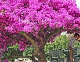 """Người Đà Lạt và du khách """"sốt rần rần"""" với cây hoa giấy khổng lồ siêu đẹp"""