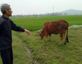 Vụ chăn trâu bò phải đóng phí đồng cỏ: Kiểm điểm trách nhiệm cán bộ