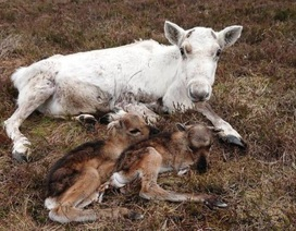 Chuyện hiếm: Tuần lộc sinh đôi còn sống ở Cairngorms