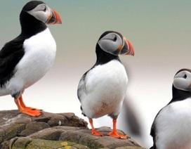 Số lượng chim hải âu rụt cổ Đảo Farne giảm đáng lo ngại