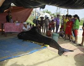 Cá voi liên tiếp dạt vào bờ biển huyện Bình Sơn