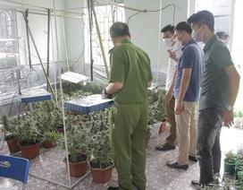 """Thành viên """"Hội thánh Đức Chúa Trời"""" trồng gần 1.000 cây nghi cần sa"""