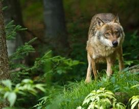 Con sói cái hoang duy nhất ở Đan Mạch trong 200 năm bị bắn chết