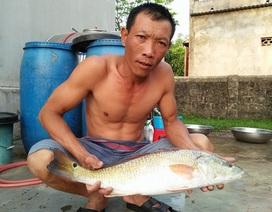 Ngư dân bắt được cá nghi là sủ vàng quý hiếm