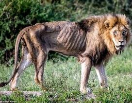 """Hình ảnh thê thảm của sư tử đực khi mất """"ngôi vương"""" và bị đuổi khỏi đàn"""