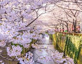 Nhật Bản có thể thiệt hại gần 2 tỷ USD vì phấn hoa