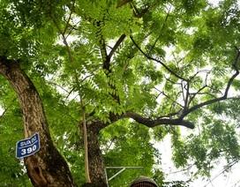 Hà Nội: Loạt cây sưa quý chuẩn bị di dời để làm đường sắt đô thị