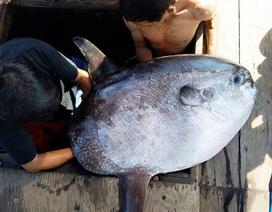 """Ngư dân bắt được cá mặt trăng """"khủng"""" 32kg"""