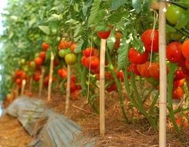 Sang Hàn Quốc hái ớt, cà chua lương 33 triệu đồng/tháng