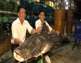 Bắt được cá lăng nặng trên 100kg trên sông Tiền