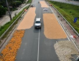 Người dân phơi thóc chiếm gần hết đoạn đường ở Hà Nội