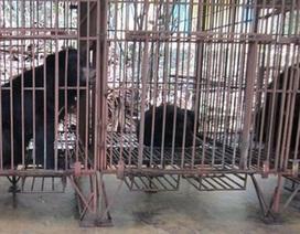 Thanh Hóa: Còn 4 cá thể gấu ngựa nuôi nhốt