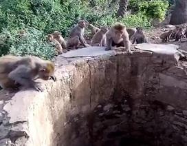 Bầy khỉ thông minh cứu báo khỏi chết đuối