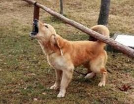 Xuất hiện ổ dịch bệnh dại trên chó ở U Minh