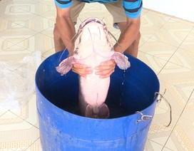 Nam thanh niên miền Tây bắt được cá trê khủng nặng gần 12kg