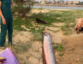 """Cá hố rồng """"khủng"""" liên tiếp chết dạt bờ biển Quảng Bình"""