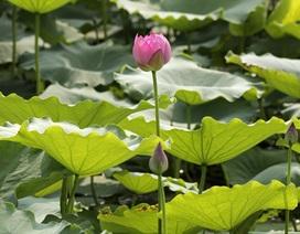 Vẻ đẹp đặc biệt của đầm sen hồ Tây mùa hoa nở