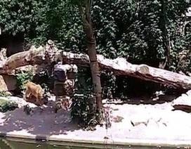 """Khoảnh khắc chim lạc vào chuồng sư tử, bị vồ """"không kịp trở tay"""""""