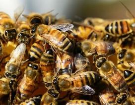 Phát hiện ra nguyên nhân chính khiến ong chết hàng loạt