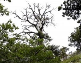 """Cây thông cổ thụ hơn 1.200 năm tuổi vẫn tiếp tục """"lớn"""""""