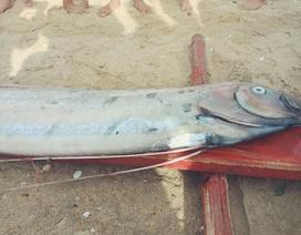 """Thêm cá hố rồng """"khủng"""" chết, dạt vào bờ biển Quảng Bình"""