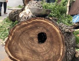 """Bất ngờ phát hiện tổ ong """"khủng"""" trong thân cây trăm tuổi bị đổ ở Sài Gòn"""
