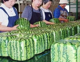 Dưa hấu vuông kỳ lạ xuất hiện ở Hà Nội: Giá chát 4,5 triệu đồng/quả