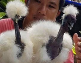 """Cực lạ loài gà có cổ như rắn """"hớp hồn"""" giới nhà giàu Việt Nam"""