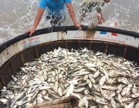 """Ngư dân trúng mẻ cá """"kỷ lục"""" sát bờ biển"""