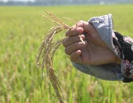 Thiệt hại 10 vạn tấn lúa chỉ xử phạt 25 triệu đồng(!?)
