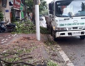 """Hà Nội: Lợi dụng mưa bão, """"sưa tặc"""" tái xuất"""
