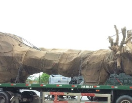 """Tạm giữ xe chở cây """"khủng"""" lưu thông trên QL1"""