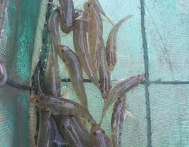 Quảng Ngãi: Độc đáo nghề đặt ống tre bắt cá bống sông Trà