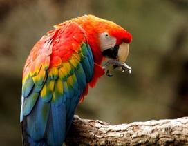 Các nhà thần kinh học tiết lộ bí mật thông minh của vẹt