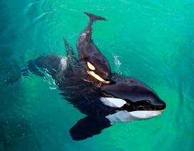 """Xúc động câu chuyện cá voi mẹ """"để tang"""" con 17 ngày bơi qua 1.000 dặm biển"""
