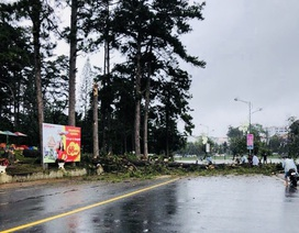 Mưa gió mạnh, nhiều cây cổ thụ gãy đổ ở Đà Lạt