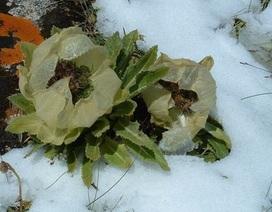 Giới nhà giàu săn loài hoa lạ tăng cường sinh lực với giá cao ngất ngưởng