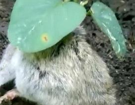 Kỳ lạ cây đậu nành mọc xuyên qua thân chuột