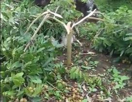 Hàng chục cây nhãn sắp đến ngày hái quả bị chặt phá tan nát