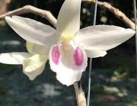 Loài hoa lan đại gia Hòa Bình sẵn sàng chi 2,7 tỷ đồng để mua đẹp và độc cỡ nào?