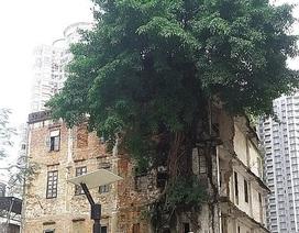 Kinh ngạc cây đa mọc xuyên qua cả tòa nhà cao tầng ở Trung Quốc
